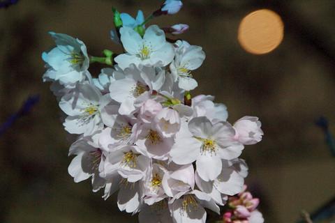 140401_cherryblosom62_w9
